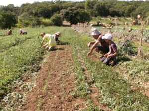 Lundi 27 août 2012 dans Le mot de la Ferme Desherbage-carottes-2-300x224