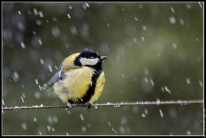Lundi 28 janvier 2013 dans Le mot de la Ferme pluie-et-mesange-compr-300x201