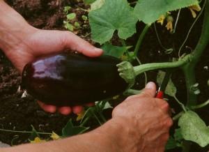 Distribution 5 dans Le mot de la Ferme aubergine-cueillir-300x218
